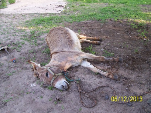 06.12.2013_SPCA KILLS DONKEYS_No.2