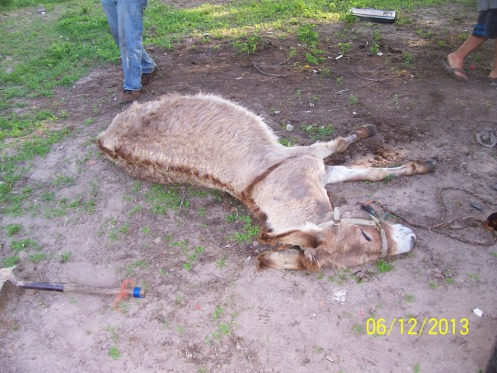 06.12.2013_SPCA KILLS DONKEYS_No.3
