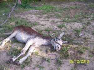 06.12.2013_SPCA KILLS DONKEYS_No4