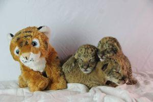 3 liliger cubs