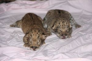 Liliger Cubs born 11-30
