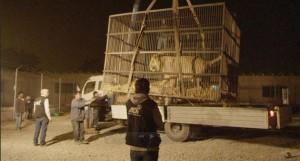 Lion Rescue-Peru