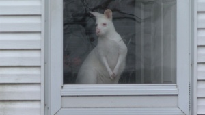 Albino Wallaby seizure