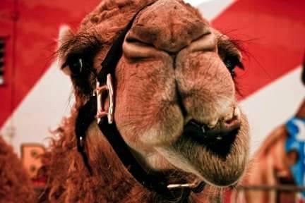 Ramos Bros Circus-camel