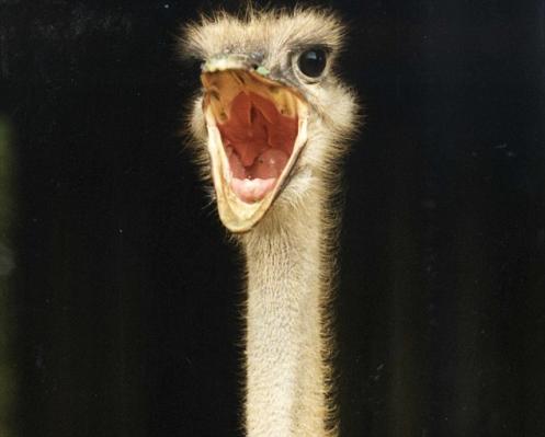 Nala the Ostrich