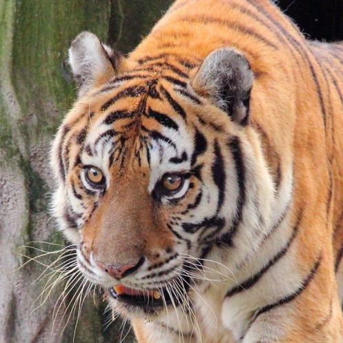 BCR Teicha the tiger-Mike Stapleton